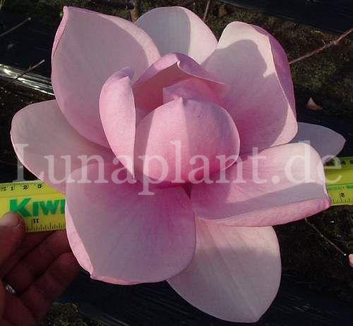 Magnolia MAGNOLIA Cleopatra ® 30-40cm
